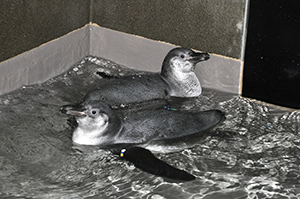 フンボルトペンギンのヒナ