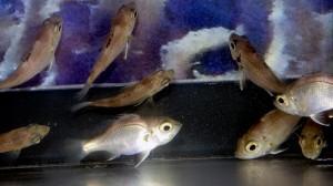 アカムツ幼魚(2014年09月15日の様子)