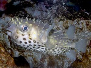 イガグリフグ Cyclichthys. spilostylus