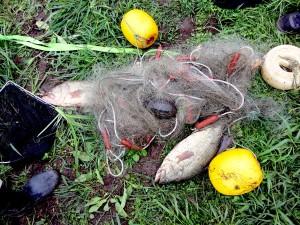 刺網で捕獲されたオオクチバス(特定外来生物)