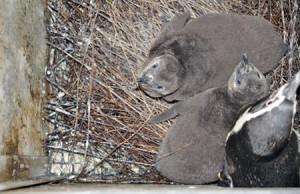 巣の中にいる個体No.209(左)・210(右) 撮影日 2015.12.31