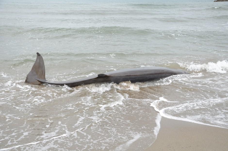 新潟市西区に漂着したオウギハクジラ20160307
