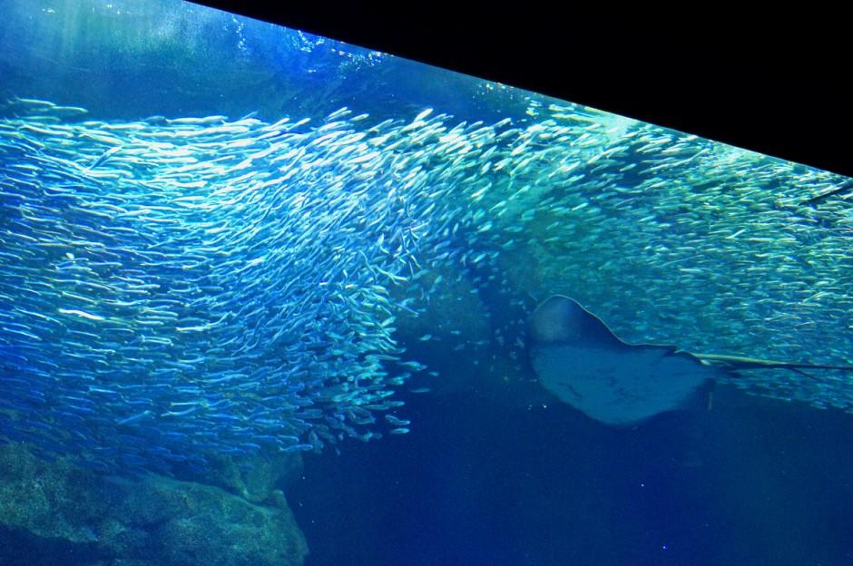 日本海大水槽のマイワシ
