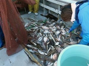 底曳網で漁獲された魚類