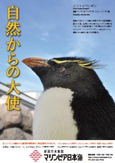 イワトビペンギン(2015年11月イベントガイド)