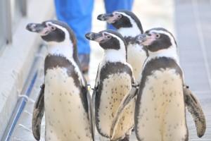 フンボルトペンギン(講師作例)