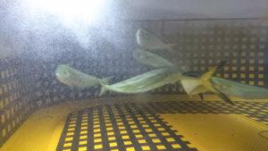 活魚輸送車で輸送中のシイラ