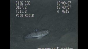 海底調査:ハゼ科の一種
