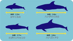 イルカとクジラ(体の大きさ)