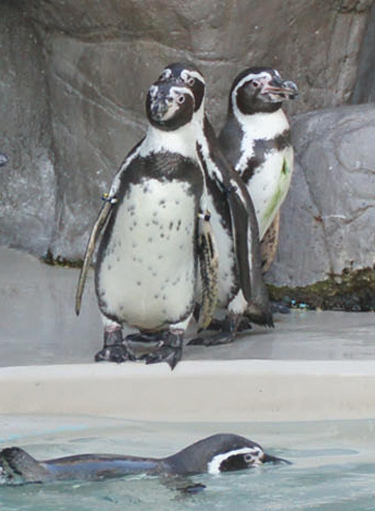ペンギン海岸 ペンギン解説