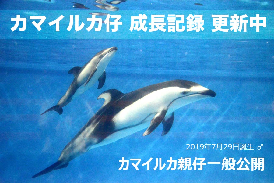 カマイルカの仔 公開 ぐんぐん成長中!10/12up!